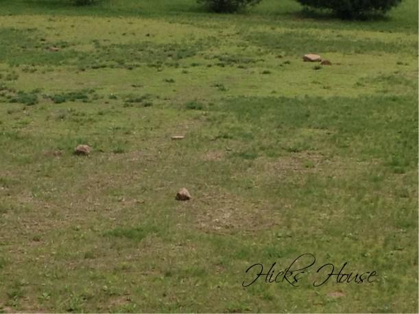 Lawn War | Hicks House